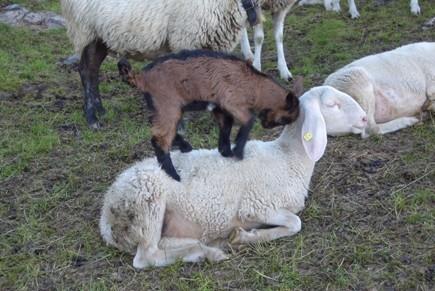 A proposito di capre chi ha orecchi da udire oda for Recinto elettrico per capre