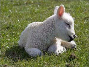 agnello-umile