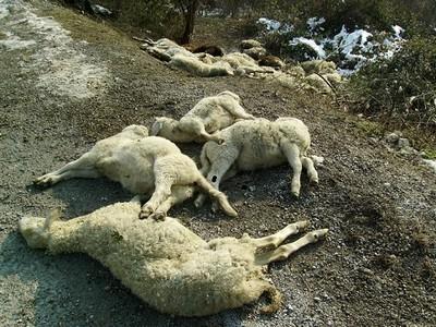 pecore-morte-01