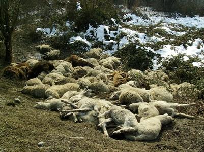 pecore-morte-02
