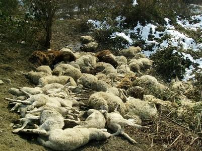 pecore-morte-03