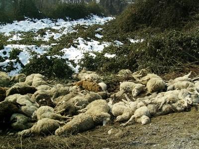 pecore-morte-04