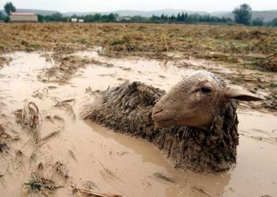 Risultati immagini per pecore disperse