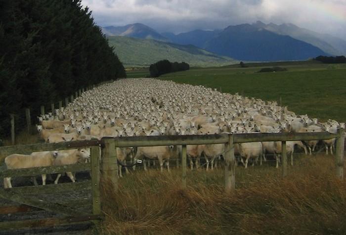 Flock-Sheep