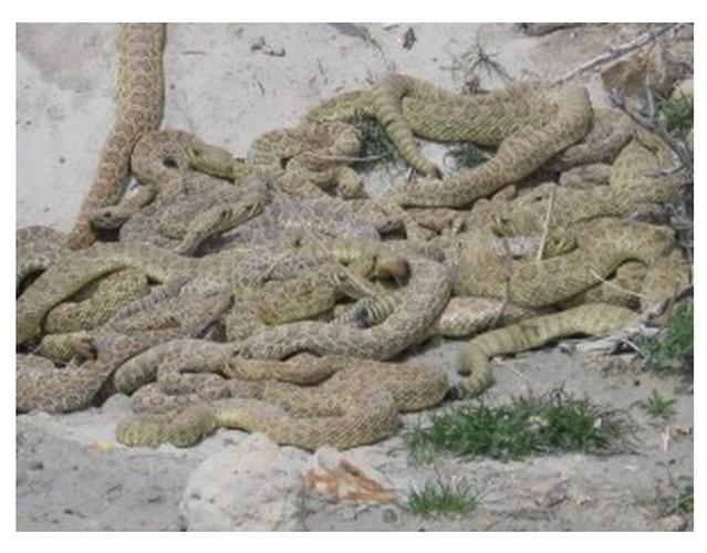 serpenti-covo
